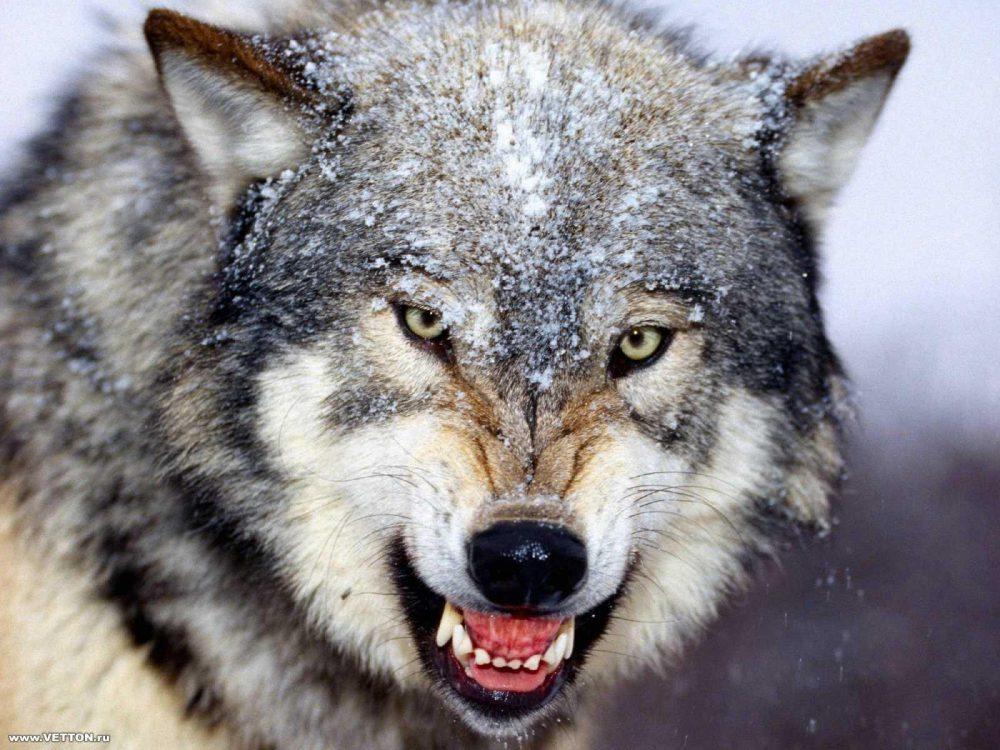 Én, Farkas