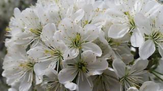 Maréknyi labdavirág a meggyfán